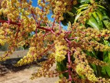 Blooming good outlook for Queensland Christmas mangoes